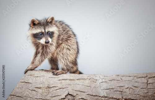 portrait of little playful racoon animal on a log - Buy this
