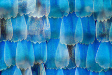 Extreme Magnification - Blue Morpho (morpho Peleides) Wing, 50:1 Magnification