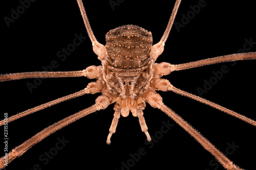 Extreme magnification - Opiliones, harvestmen, daddy longlegs Canvas Print