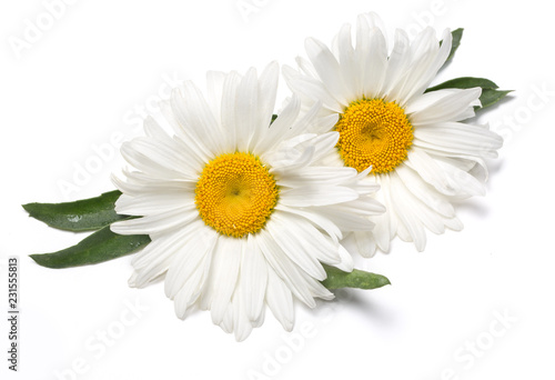Foto op Canvas Madeliefjes Beautiful chamomile flowers on white