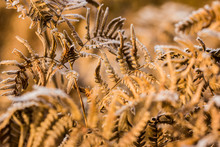 Frost On The Fern Leaves, Close-up, Latvia