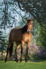 Beautiful bay horse in summer