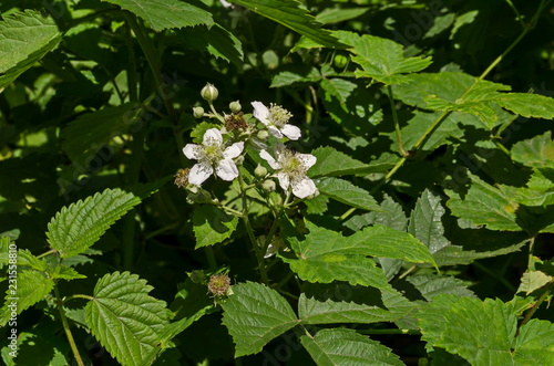 Fotografie, Obraz  Vibrant white blackberry flowers in different stages of growth in the Lozen moun