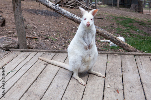 Fotografia A portrait of a young albino  blue-eyed red-necked wallaby kangaroo (aka  Bennet