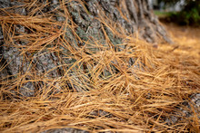Brown Old Dry Pine Needles On The Ground Next To A Tree