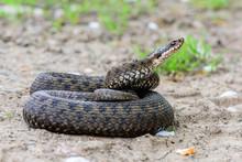 Grass Snake Natrix Natrix Close-up