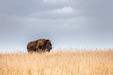 One Single Majestic Buffalo Standing In Tall Golden Colored Grass