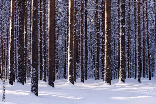 Fotografia, Obraz  Winter forest with snowy Scots pine (Pinus sylvestris) trees