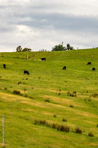 Staande foto Bleke violet Black Cows on a Hill vert