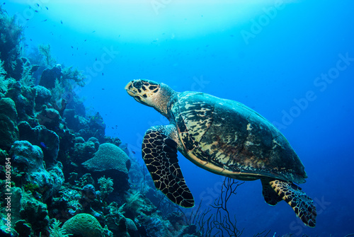 In de dag Schildpad A turtle in the warm water of the Caribbean sea. This salt water reptile is happy on the ecosystem provided by the coral reef