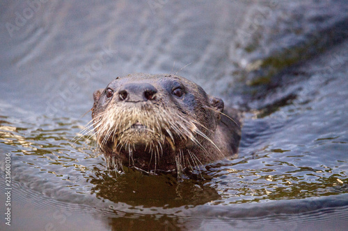 Fotografie, Obraz  Adult River Otter Lontra canadensis in a pond