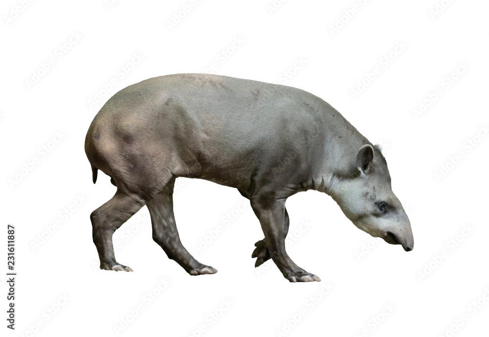 Fototapeta brazilian tapir isolated