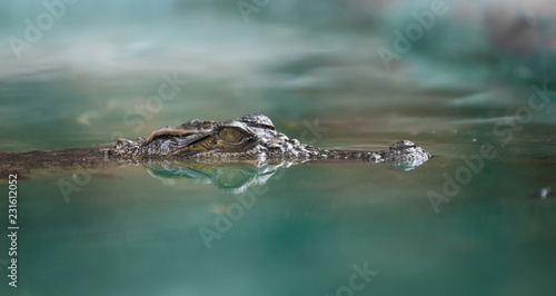 Foto op Plexiglas Krokodil crocodile face and reflection in water