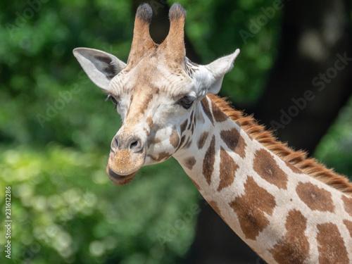 Staande foto Giraffe portrait of a giraffe