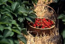 草苺ジャム作り、苺の...