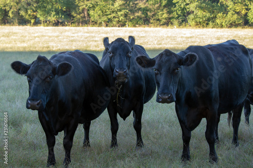 Fotografie, Obraz  With ears pointed up and grass in her mouth, the cow in the middle seems to be somewhat of a comedian