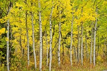 Colorful Stand Of Aspen Trees In Autumn In Grand Teton National Park.