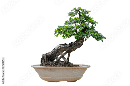 Spoed Foto op Canvas Bonsai Bonsai tree isolated on white background. Its shrub is grown in a pot or ornamental tree in the garden.