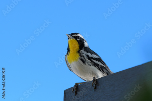 Close-up of a Yellow-throated Warbler bird sitting on a wooden desk Canvas Print