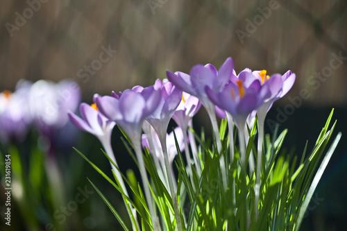 Staande foto Krokussen lila Krokusse