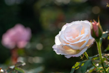 Pale Pink Rose Flower At Naras...