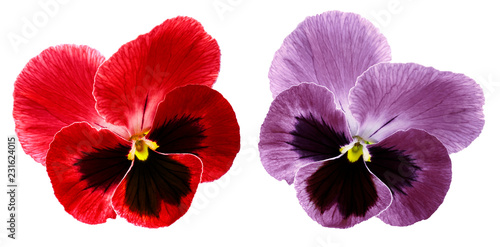 Wall Murals Pansies Pansies red and violet flower on a white isolated background with clipping path. Closeup no shadows. Nature.