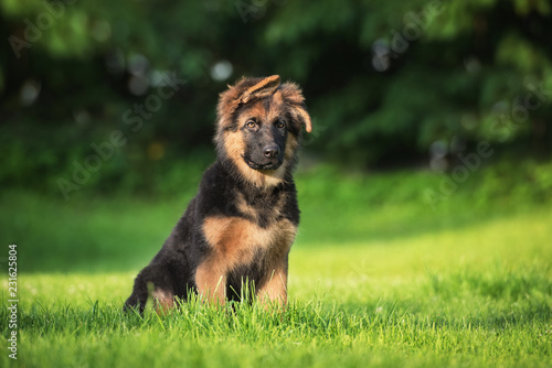 Fotografie, Obraz German shepherd puppy