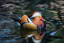 Beautiful Mandarin Ducks Swim In The Marsh.