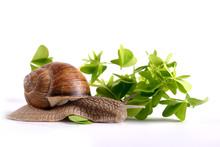 Helix Pomatia.Garden Snail Isolated On White Background.Grape Snail.