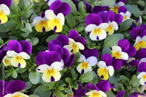 Foto op Plexiglas Pansies 白と赤紫のパンジーの花