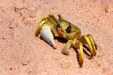 Fototapeta Close up image of yellow crab on sand
