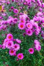 Lilac Autumn Flowers, Soft Focus. Bright Autumn Flower Background. Purple Aster Bloom, Blue Flowers