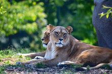 Two Lions Or Panthera Leo Rest...
