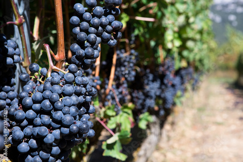 Ripe grapes bunch in a vineyard