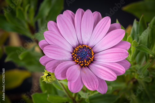 In de dag Madeliefjes Fine art still life color flower macro portrait image of a single isolated wide open blooming pink african / cape daisy / marguerite blossom with green leaves on blurred background