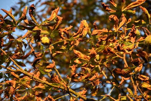 Kastanienfrüchte am Baum