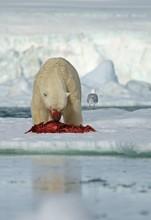 Polar Bear (Ursus Maritimus) Feeding The Carcass Of A Captured Seal In The Snow, Svalbard, Norwegian Arctic, Norway, Europe