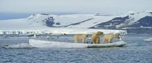 Polar Bears (Ursus Maritimus),...