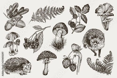 Fotografie, Obraz Collection of highly detailed hand drawn fern, mushrooms, strawberries, blackberry oak leaves, acorn and hedgehog isolated on white background