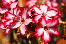 Desert Rose (Adenium Obesum) , Zambia, Africa