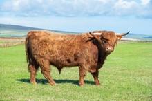 Scottish Highland Cattle (Bos Taurus), Bull On A Pasture, Orkney Islands, Scotland, United Kingdom, Europe
