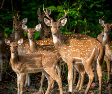 Sika Or Spotted Deers Herd In The Jungle
