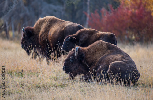 In de dag Bison Yakut Bison reaches 2.5-3 meters in length and up to 2 meters in height. Thick coat of his gray-brown color, black-brown on the head and neck. The front of the body is covered with longer hair.