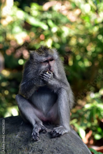 Foto op Plexiglas Aap Macaque monkeys at Ubud Sacred Monkey Forest Sanctuary a nature reserve and Hindu temple complex in Ubud Bali Indonesia