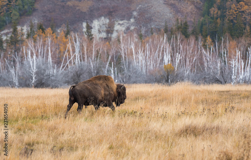 Keuken foto achterwand Buffel Yakut Bison reaches 2.5-3 meters in length and up to 2 meters in height. Thick coat of his gray-brown color, black-brown on the head and neck. The front of the body is covered with longer hair.