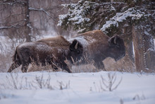 Yakut Bison Reaches 2.5-3 Meters In Length And Up To 2 Meters In Height. Thick Coat Of His Gray-brown Color, Black-brown On The Head And Neck. The Front Of The Body Is Covered With Longer Hair.