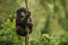 Wild Mountain Gorilla In The N...