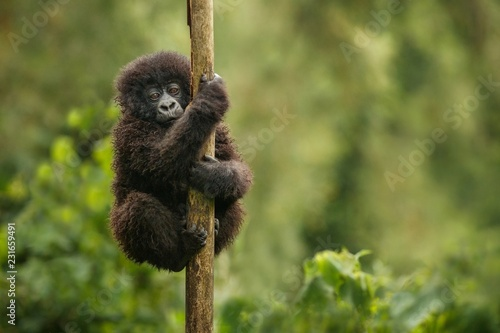 Wild mountain gorilla in the nature habitat Canvas Print
