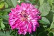 Close up purple dahlia flower