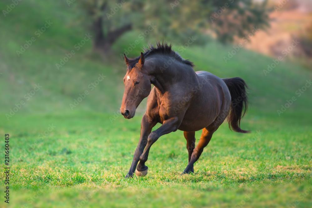 Bay horse run gallop in green meadow